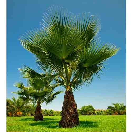 10 Samen Washingtonia filifera, Petticoat Palme